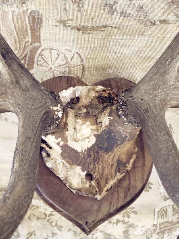 1900年代<br>英國鹿角標本 4